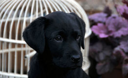 Black labrador puppy Stock Image