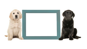 Black labrador puppy dog and golden retriever puppy sitting next to a blue empty picture frame Stock Images