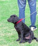 Black labrador puppy dog on lead. Photo of a cute black labrador puppy on owners lead in park Stock Photo