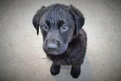 Black Labrador Puppy Dog. Sat on the ground after a bath Stock Image
