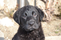 Black Labrador Puppy Dog. Sat on the ground drying off after a bath Stock Photography