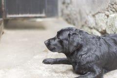 Black  labrador Stock Images