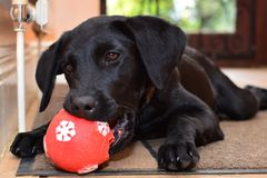 Black labrador puppy playing with a red ball Stock Photo