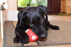 Black labrador puppy playing with a red ball Royalty Free Stock Photo