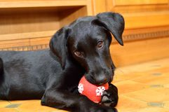 Black labrador puppy playing with a red ball Stock Image