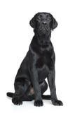 Black Labrador puppy Stock Photos