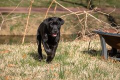 Black Labrador puppy running happy stock image
