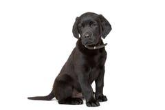Black Labrador puppy Stock Images
