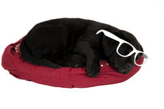 Black labrador puppy sleeping wearing funny white glasses Royalty Free Stock Photos