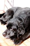 Black labrador resting outside Royalty Free Stock Photo