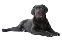 Black Labrador retreiver lying on white Royalty Free Stock Photos