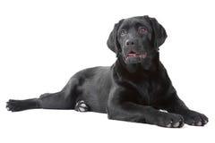 Black Labrador retreiver lying on white Royalty Free Stock Photos