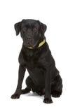 Black Labrador Retriever Stock Images