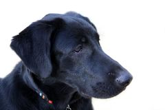 Black labrador retriever. Detail of the head dog Royalty Free Stock Image