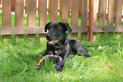 Black labrador retriever. Dog sitting in the garden Royalty Free Stock Image
