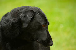 Black Labrador retriever Stock Photos