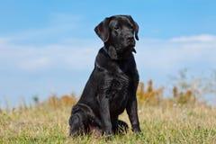Black labrador retriever Stock Photo