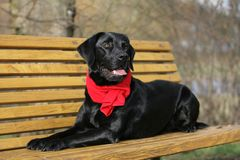 Black Labrador retriever Royalty Free Stock Photography