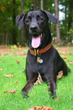 Black labrador retriever. Mix laying in grass in front of trees with collar on Stock Photo