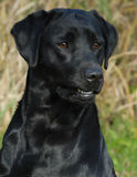 Black labrador retriever Stock Photography