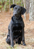 Black Labrador Retriever Adoption Photo Royalty Free Stock Image
