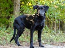Black Labrador Retriever Adoption Photo Royalty Free Stock Photos