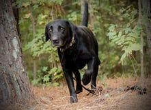Black Labrador Retriever Stock Photography
