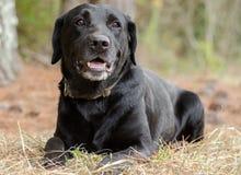 Black Labrador Retriever Royalty Free Stock Images