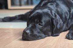 Black labrador retriever royalty free stock image