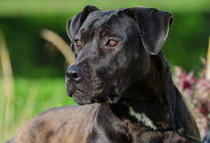 Black Labrador Retriever Bulldog mixed breed dog. Green grass and blue lake background, Walton County Animal Control Shelter photography, humane society Royalty Free Stock Photo