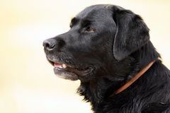 Black Labrador retriever dog Royalty Free Stock Photo