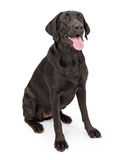 Black Labrador Retriever Dog Stock Image