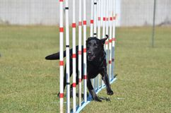 Black Labrador Retriever at Dog Agility Trial Royalty Free Stock Images