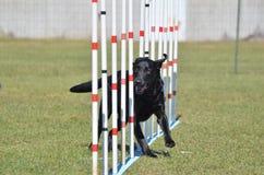 Black Labrador Retriever at Dog Agility Trial Royalty Free Stock Images