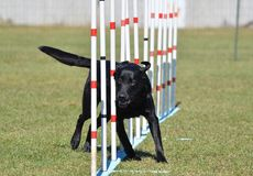 Black Labrador Retriever at Dog Agility Trial Royalty Free Stock Photography