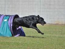 Black Labrador Retriever at a Dog Agility Trial Stock Photography