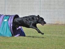 Black Labrador Retriever at a Dog Agility Trial Stock Photography