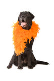 Black labrador retriever dog, boa Stock Photography