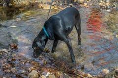 Black Labrador Retriever Dog Drinking from a Stream stock images
