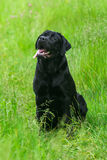 Black Labrador Retriever dog Royalty Free Stock Photography