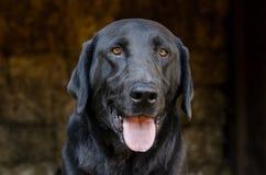 Black Labrador Retriever Dog in Hay Barn Stock Photos