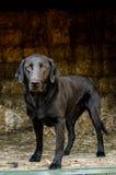 Black Labrador Retriever Dog in Hay Barn Royalty Free Stock Image