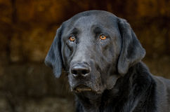 Black Labrador Retriever Dog in Hay Barn Stock Image
