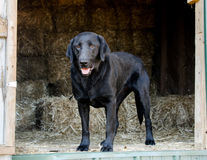 Black Labrador Retriever Dog in Hay Barn Stock Images