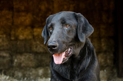 Black Labrador Retriever Dog in Hay Barn Stock Photo