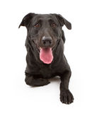 Black Labrador Retriever Dog Isolated on White Stock Photo