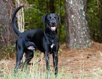 Black Labrador Retriever dog Royalty Free Stock Photo