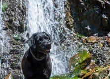 Black labrador retriever dog lay near a beautiful waterfall Royalty Free Stock Photo