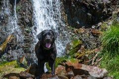 Black labrador retriever dog lay near a beautiful waterfall Stock Photos