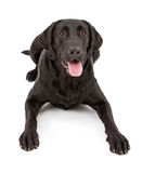 Black Labrador Retriever Dog Laying Royalty Free Stock Photo